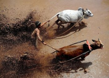 A jockey spurs the cows during Pacu Jawi at Tabek village, Pariangan district on August 14, 2016 in Tanah Datar, Indonesia. Pacu Jawi (traditional cow racing) is held annually in muddy rice fields to celebrate the end of the harvest season by the Sumatrans people in Tanah Datar regency. Jockeys grab the tails of the bulls and skate across the mud barefoot balancing on a wooden plank to show the strength of their bulls who are later auctioned to buyers. This event has been around for hundreds of years and was originally an activity undertaken by the farmers after harvest season for leisure as well as a means of entertainment for local people and thanksgiving ritual before start planting season. Nowadays, this Pacu Jawi attracts both local and international tourists to come (Photo by Robertus Pudyanto/NurPhoto via Getty Images)